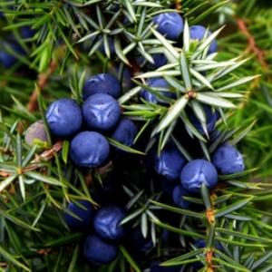 juniperus communis wild collected