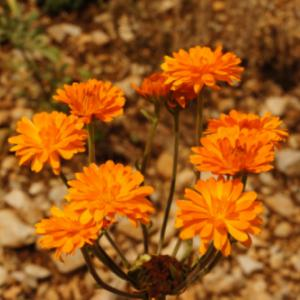 calendula officinalis organic cultivation