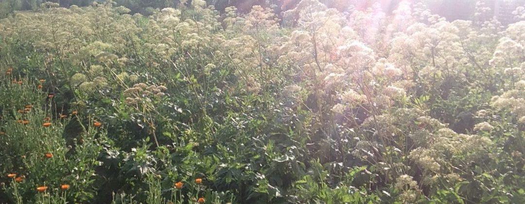 cultivating medicinal aromatic plants, Anbau von Arznei- und Aromapflanzen