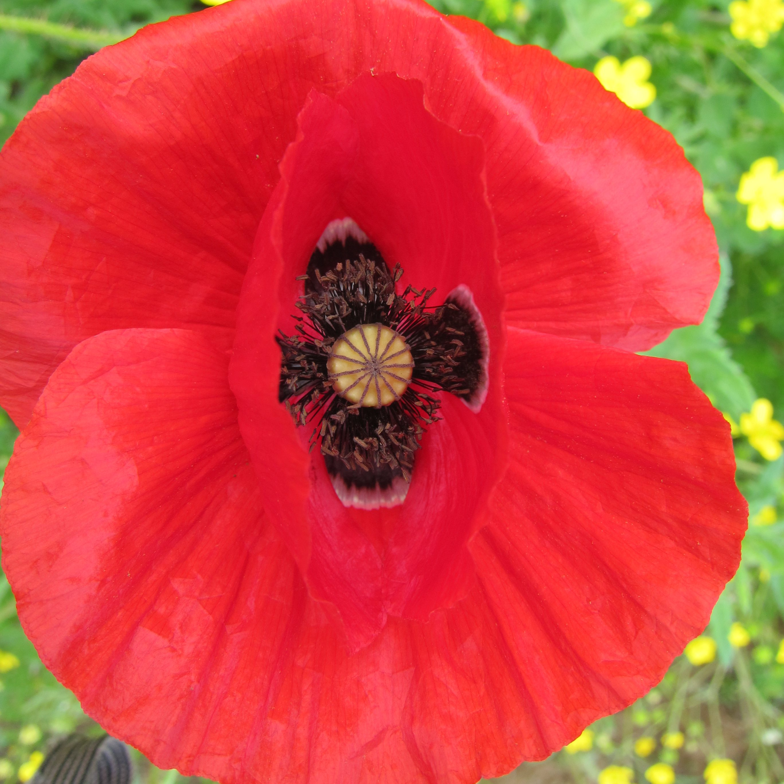 common poppy cultivation and wild collection