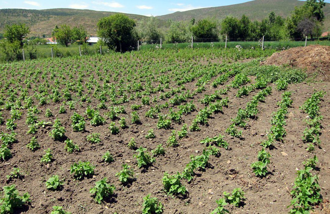 Agro-MAP GACP cultivation goldmelisse