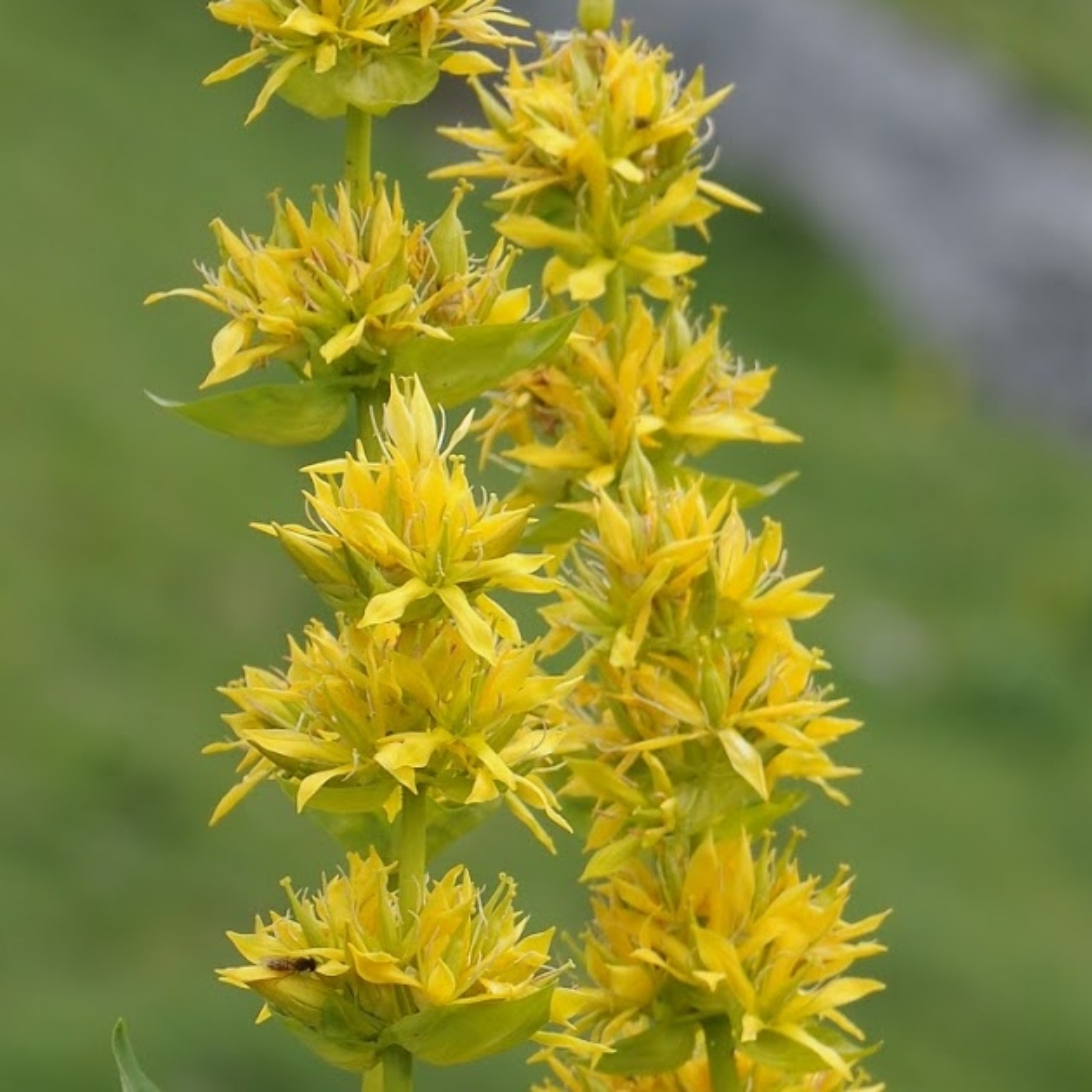 Yellow gentian cultivation