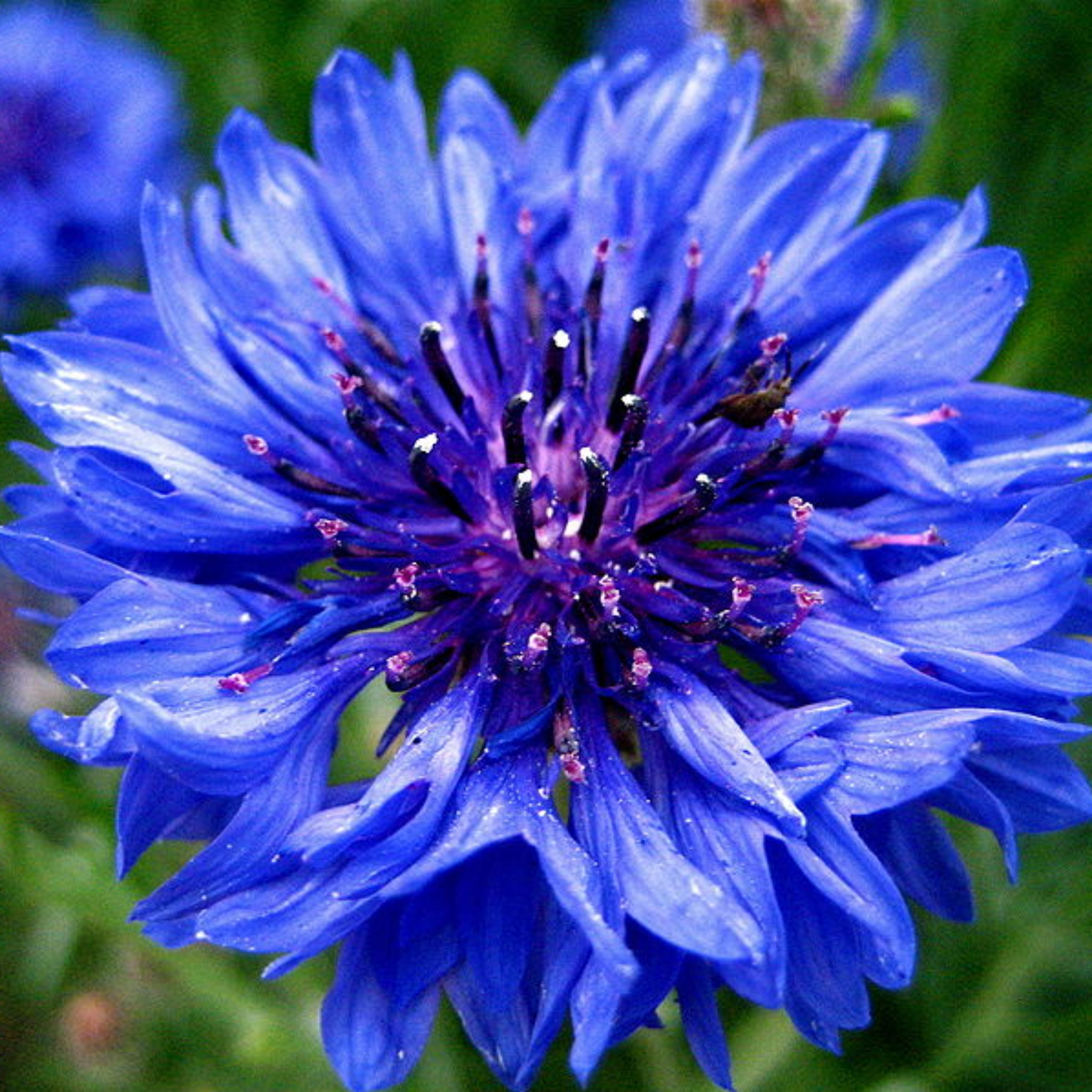 centaurea cyanus cornflower organic cultivation