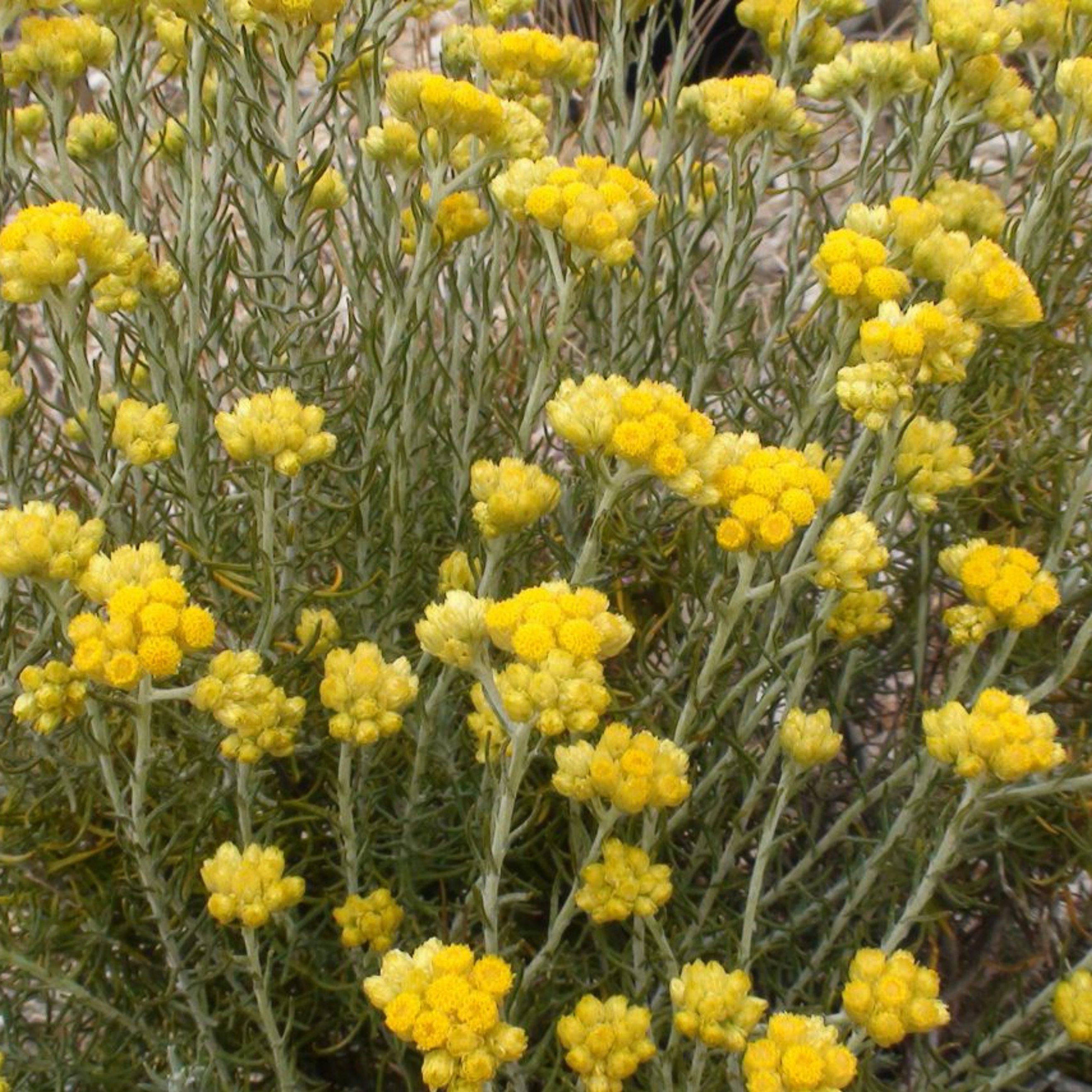 Everlasting flower organic cultivation