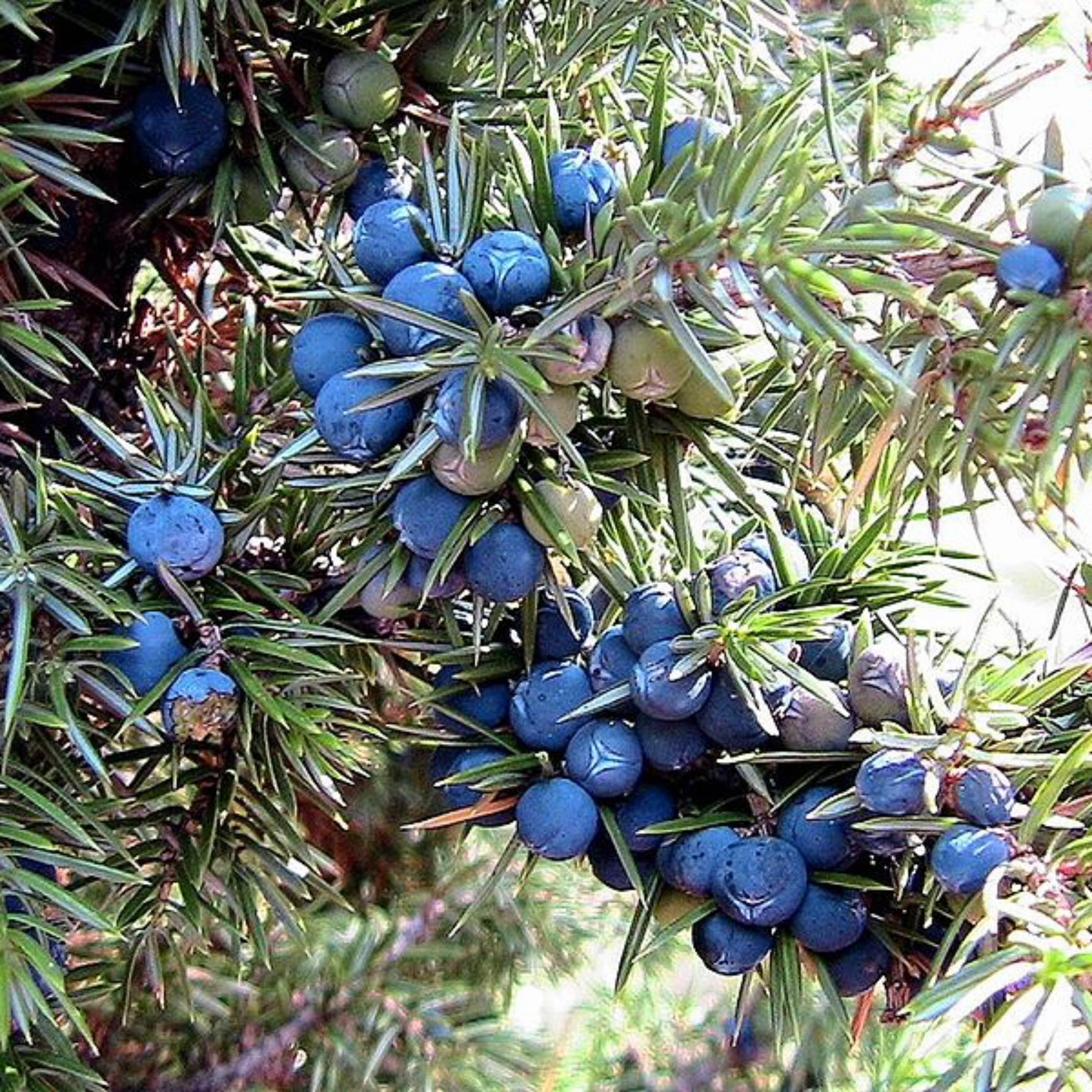 Juniper berries organic wild collection