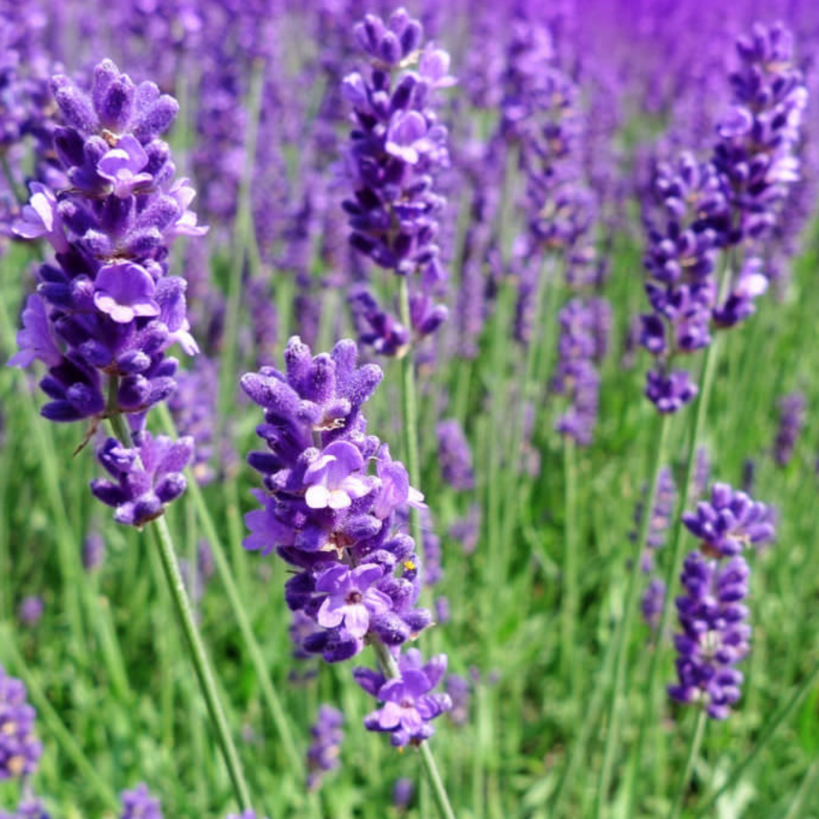 Echter Lavendel, lavandula angustifolia, Anbau, BIO