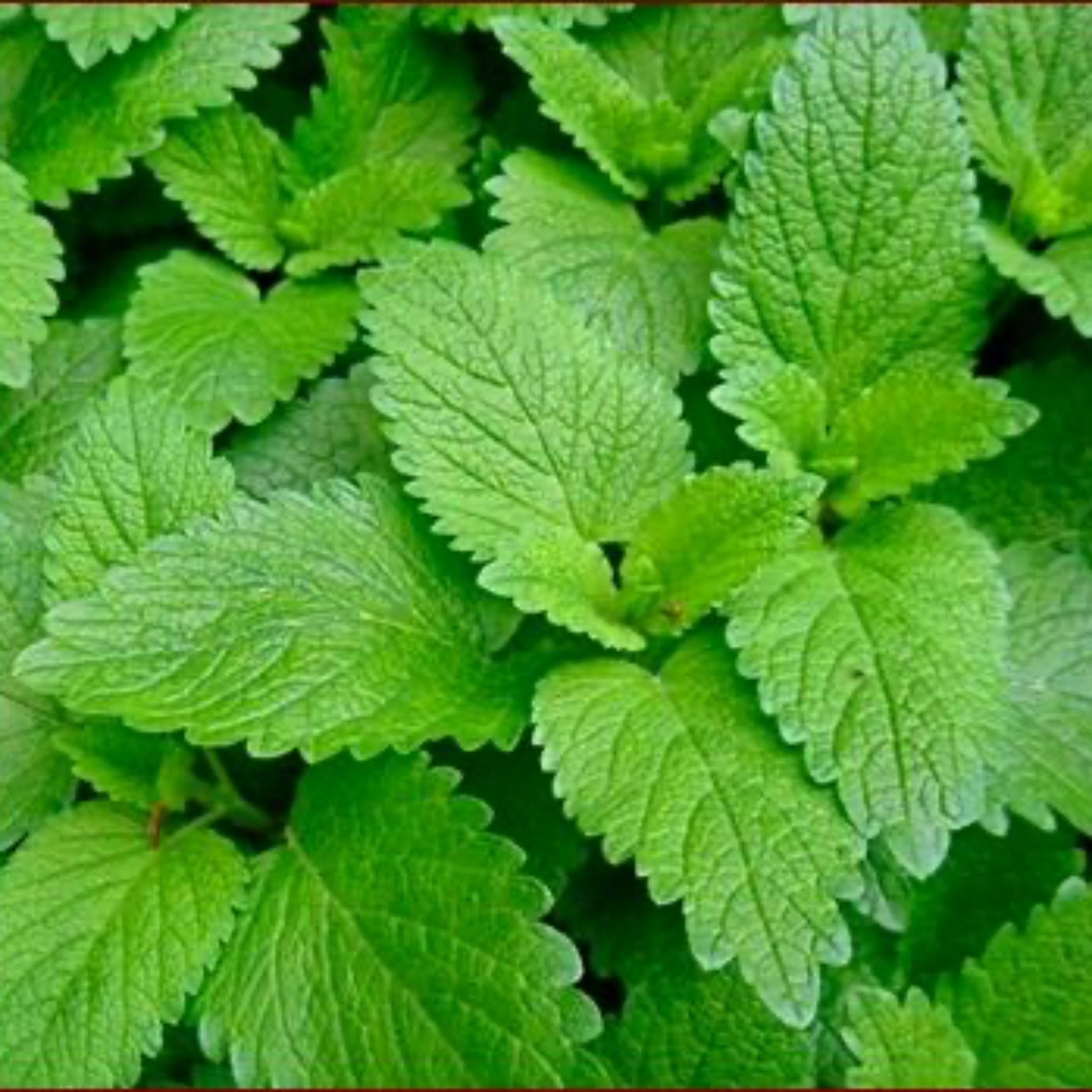 Lemon balm cultivation
