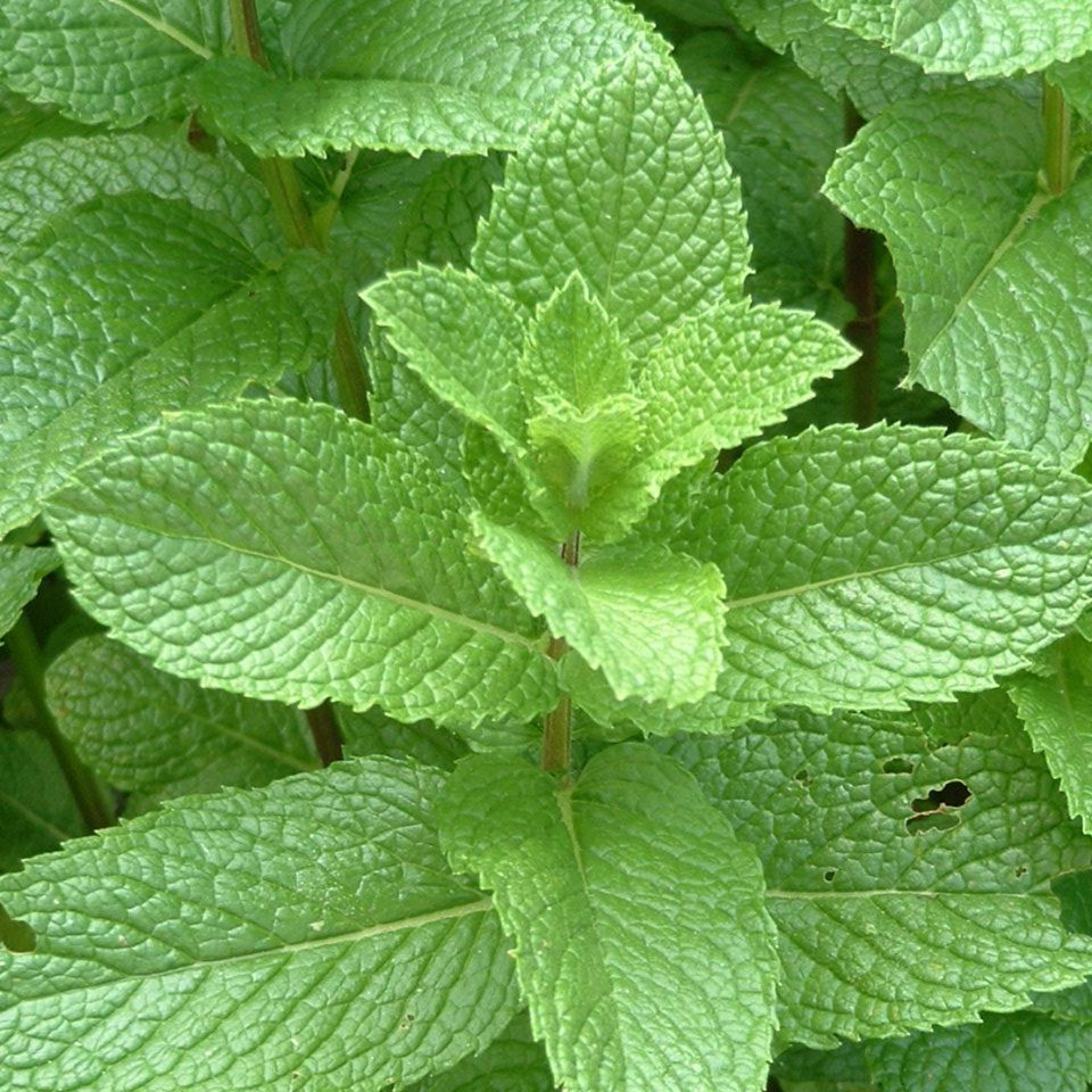 Peppermint leaves cultivation