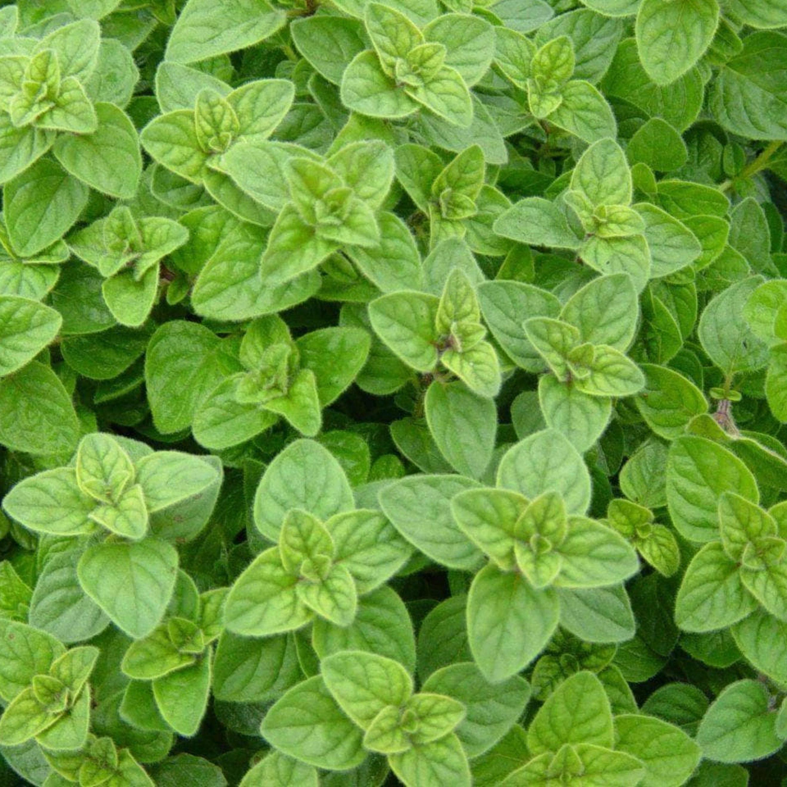 Oregano, Blätter, Anbau, BIO