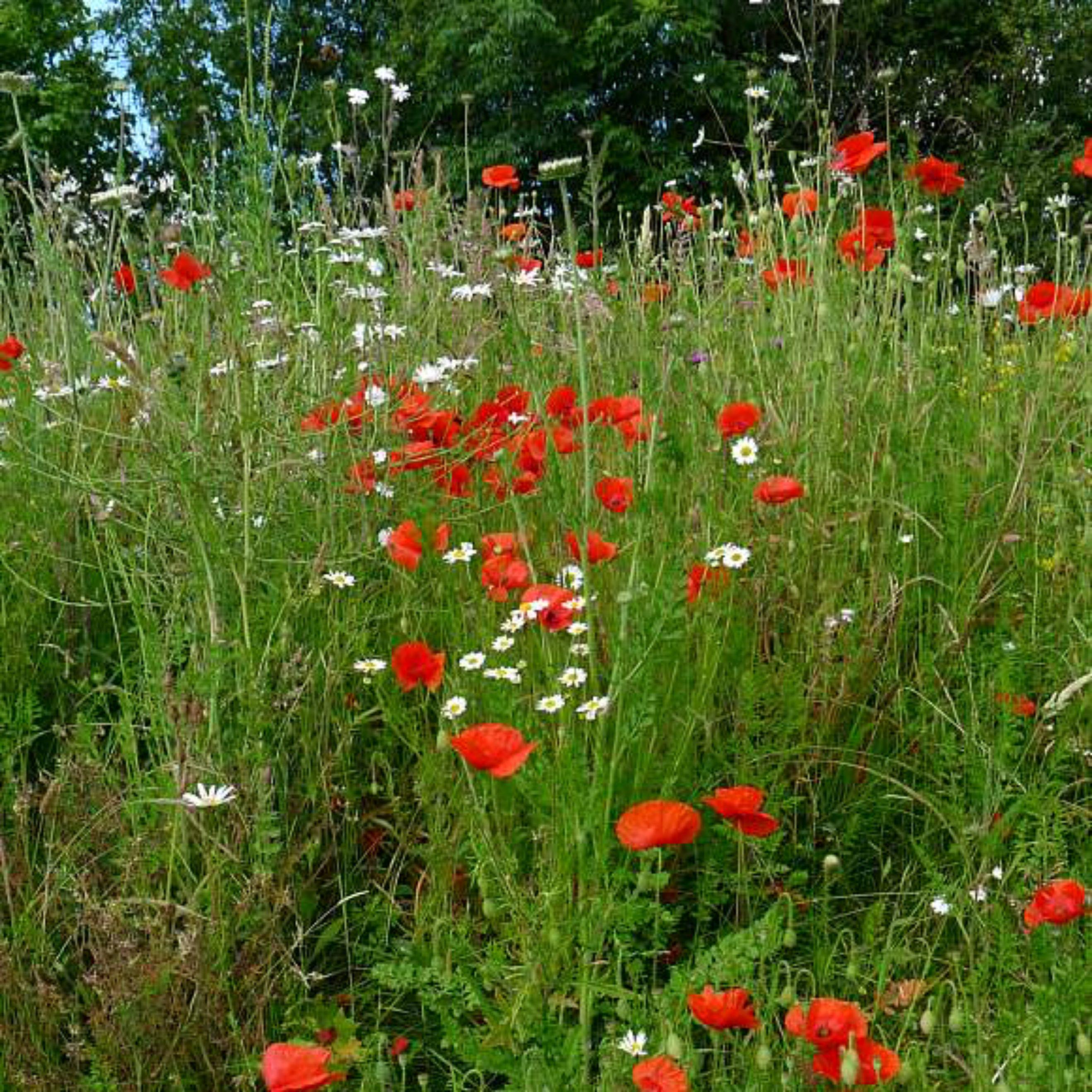 Common poppy petals wild collection