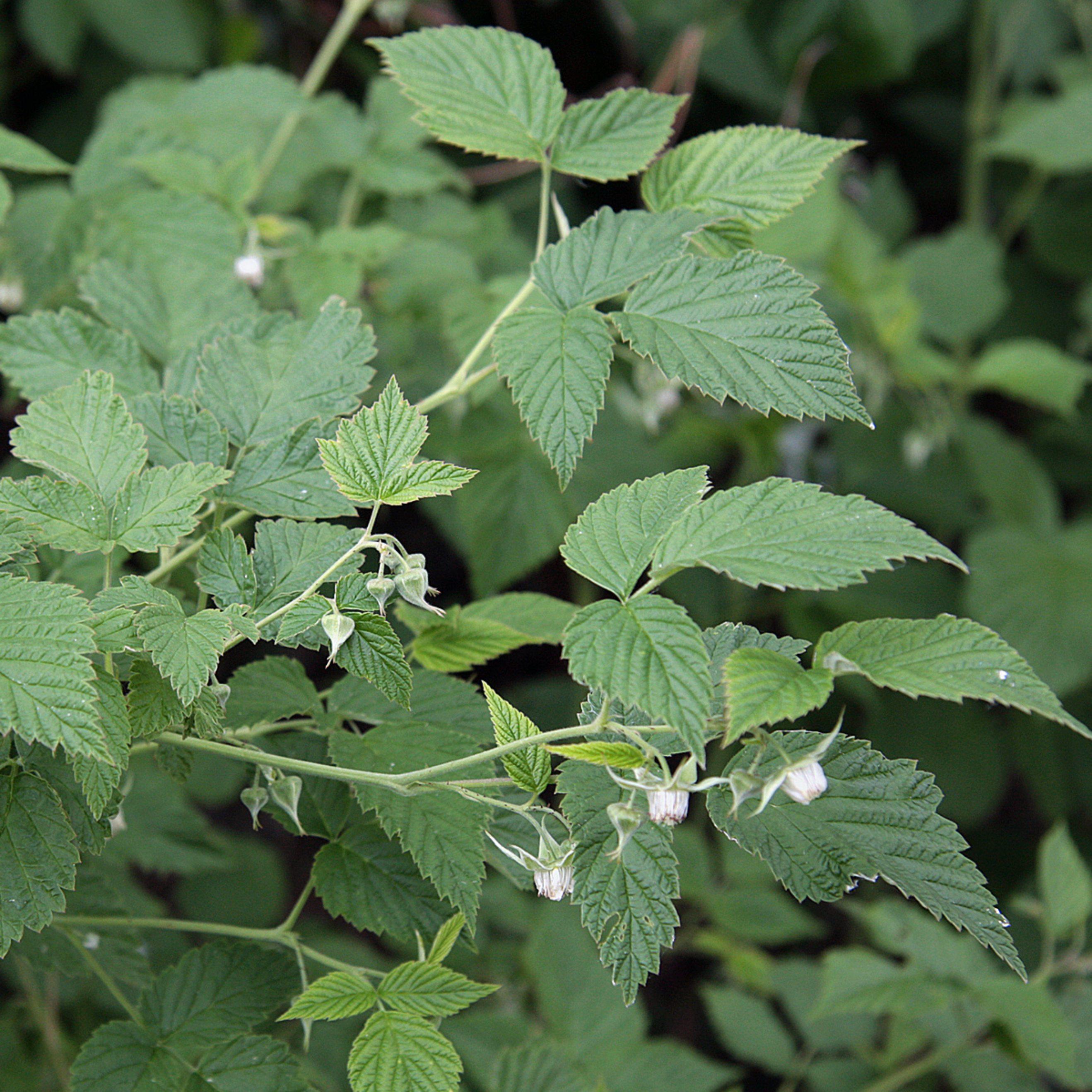 European raspberry leaves organic wild collection