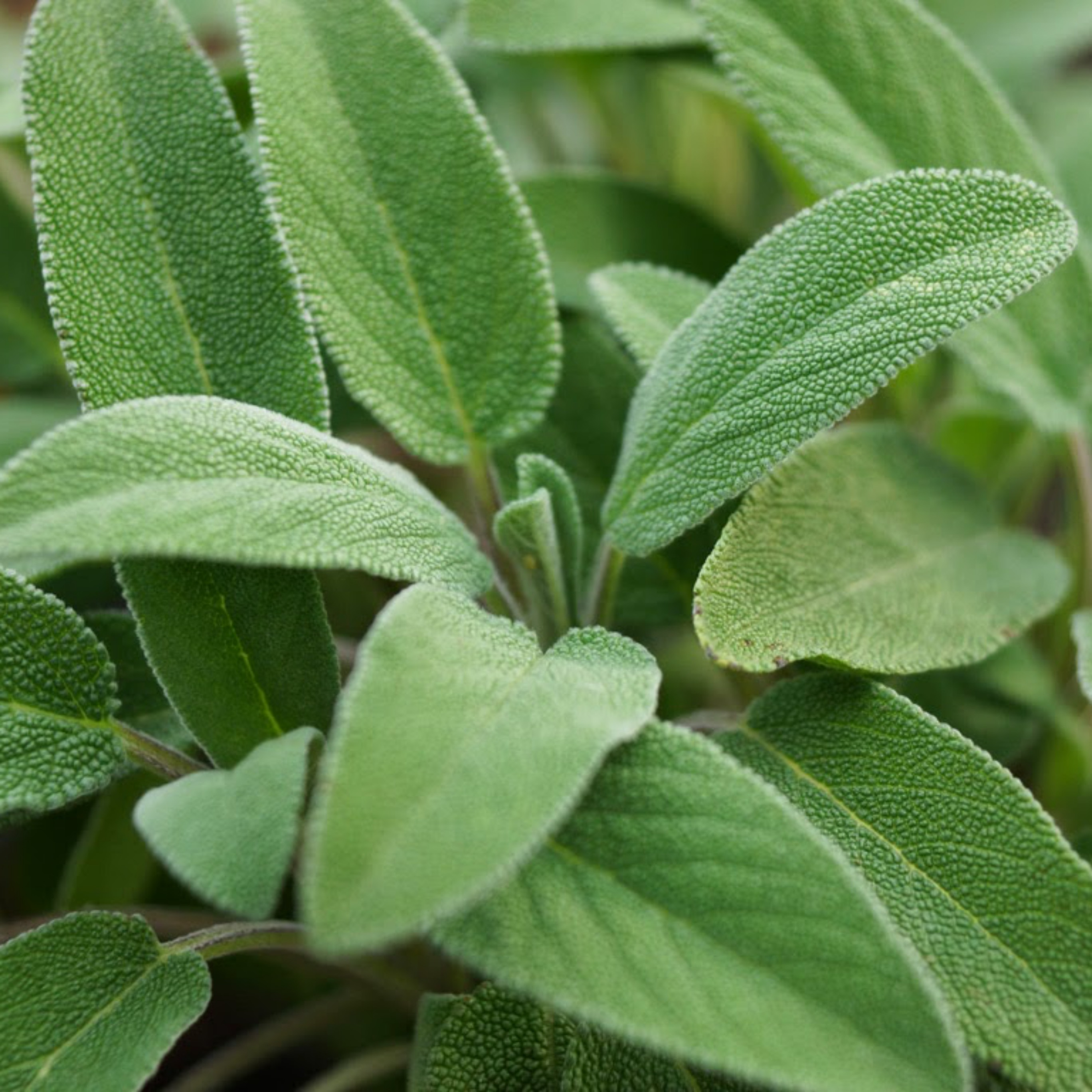 Common sage leaves cultivation