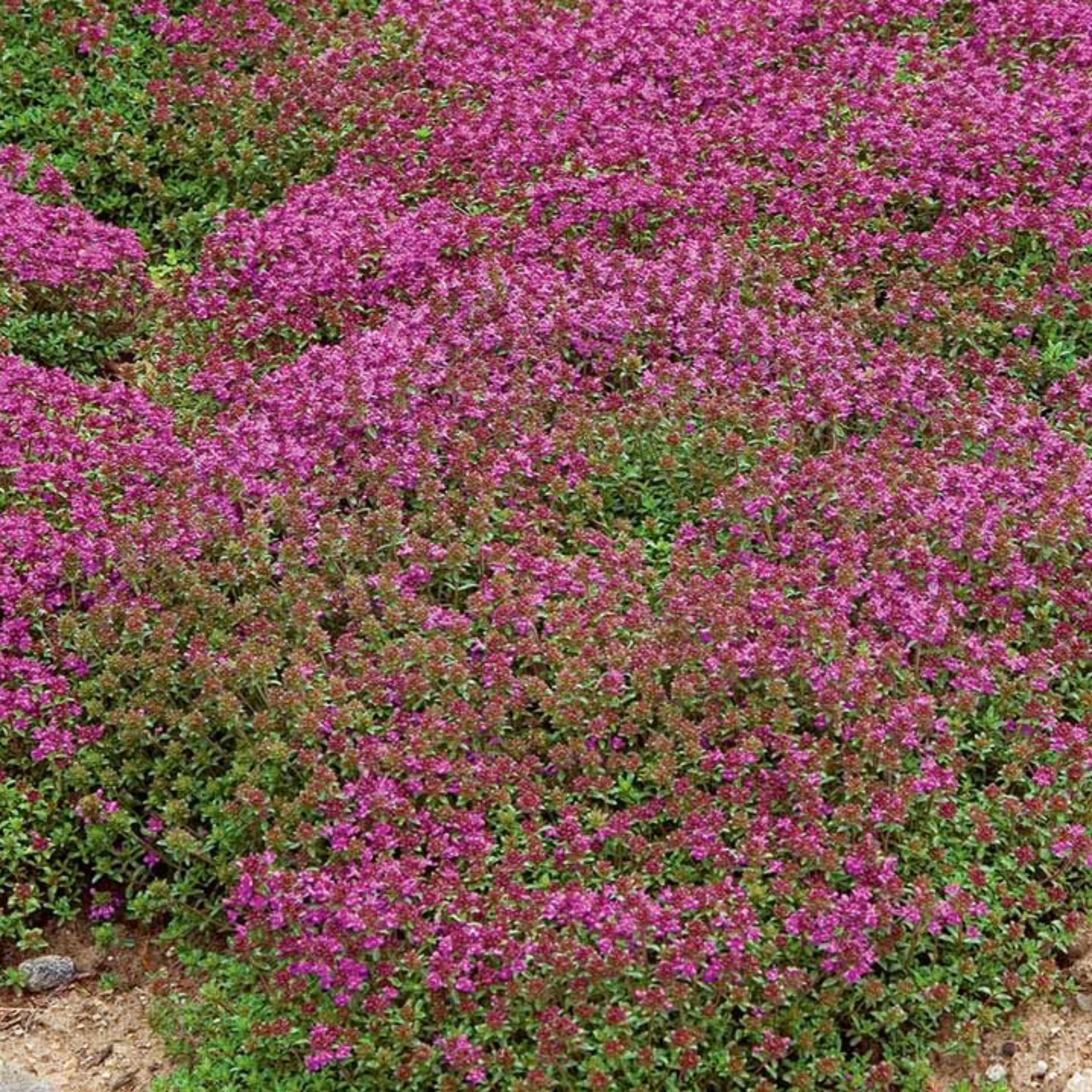 Wild thyme organic cultivation