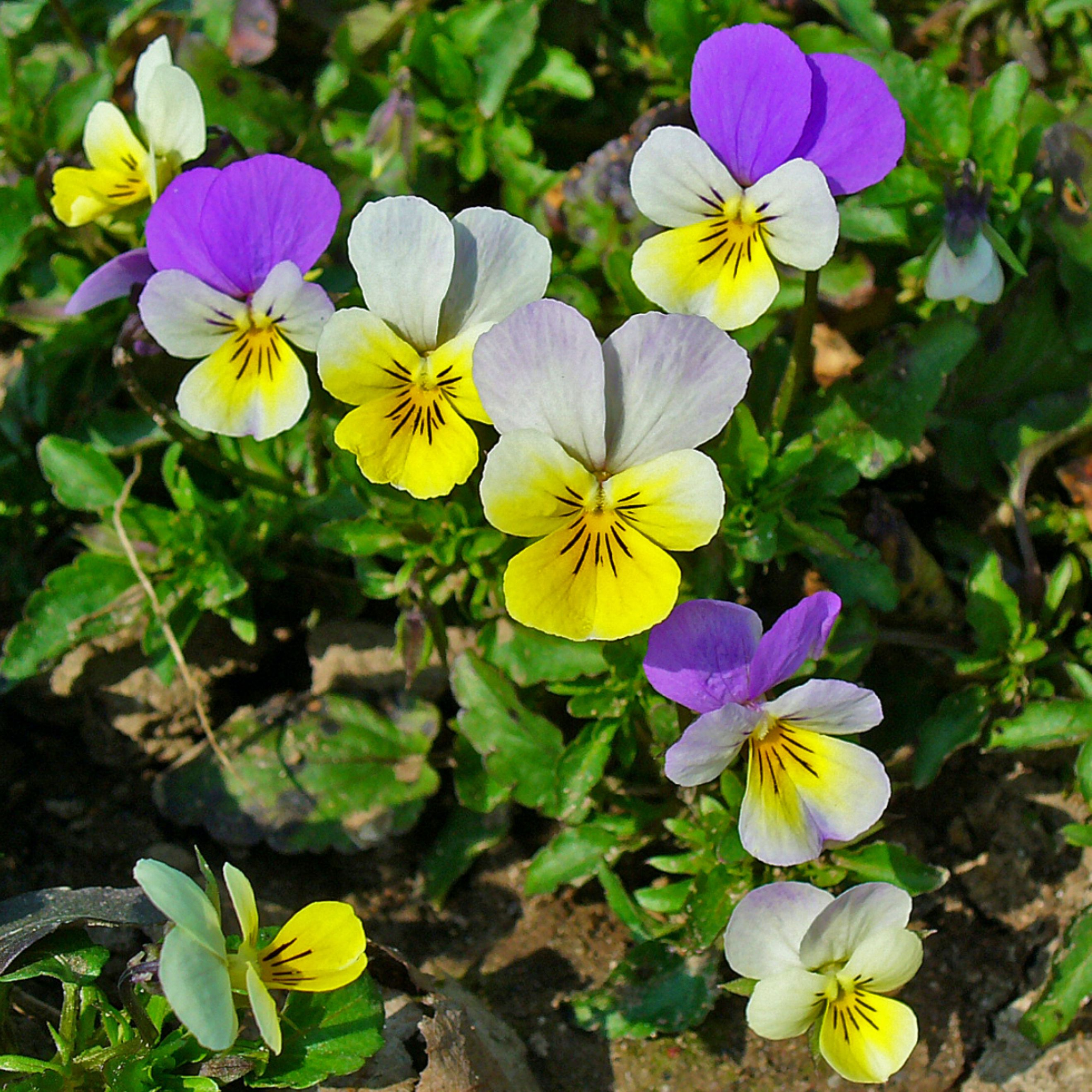 Pansy viola tricolor organic cultivation